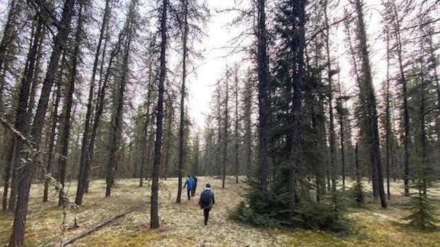 Des gens marchent dans une forêt aux grands arbres clairsemés.