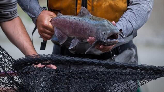 Un saumon est placé dans un filet.
