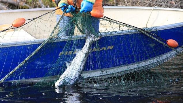 La pêche communautaire au saumon des Innus sur la Mistashipu (La Moisie)