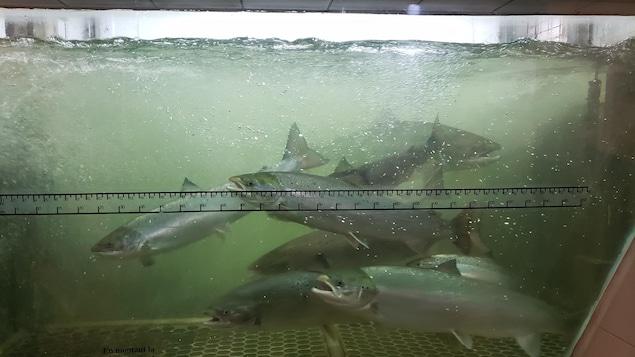 Plusieurs saumons nagent dans une passe migratoire.