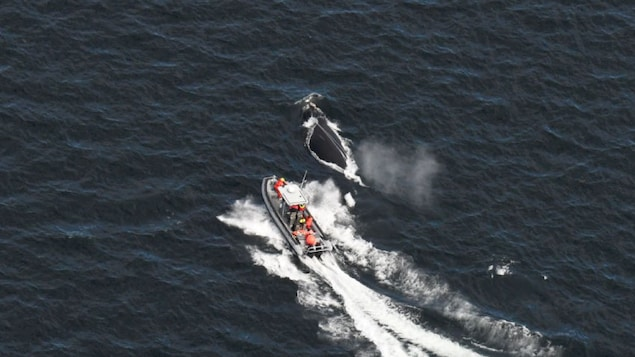 Un bateau s'approche de la baleine qui nage à la surface de la mer.