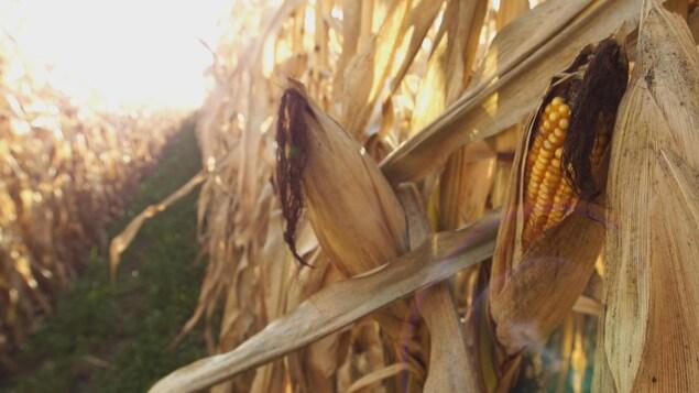 champ de maïs à l'automne avec corridor solaire