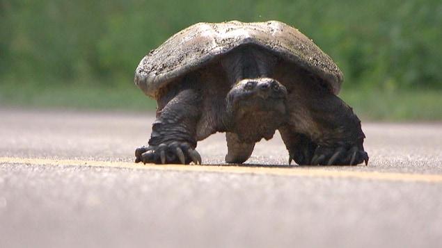 tortue qui traverse une rue