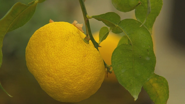 Yuzu ce drôle de citron.