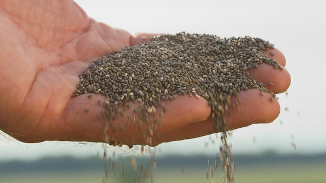 Plan rapproché d'une poignée de grains de chia dans une main.