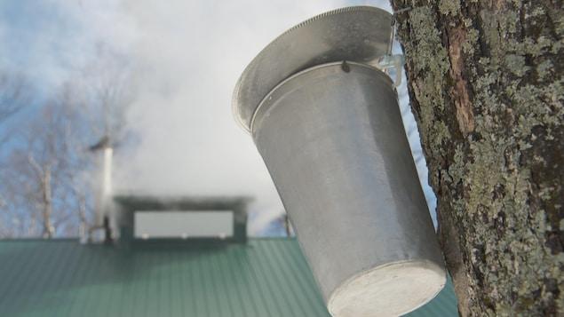 Un seau accroché à un érable et, en arrière-plan, la cheminée d'une cabane à sucre qui fume.