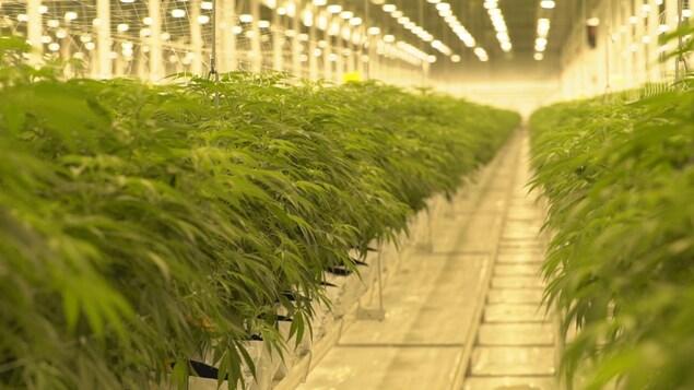 Deux rangées de plans de cannabis dans une énorme serre.
