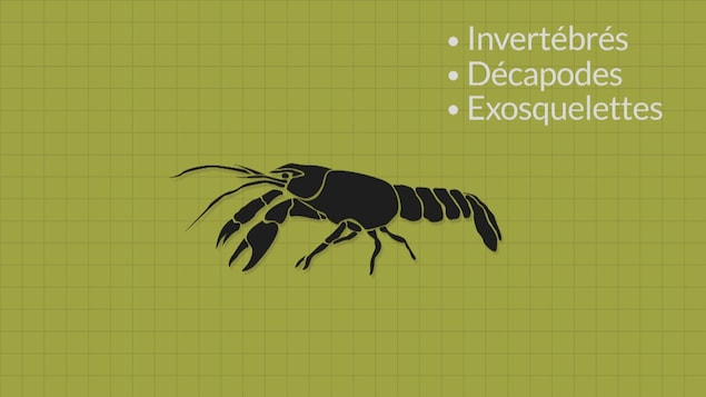 Image infographique d'une écrevisse.