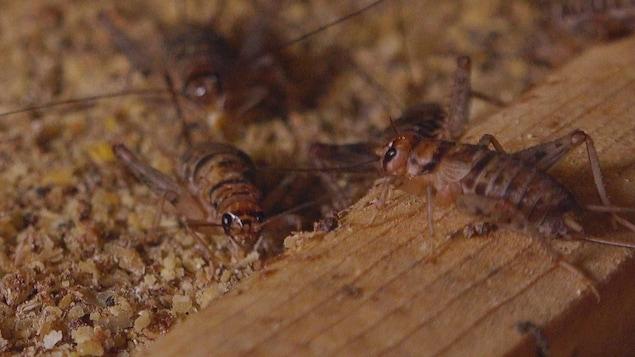 3 grillons sur un plancher de leur abri d'une ferme d'élevage de grillons.