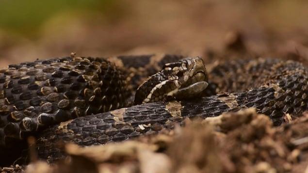 Le serpent massasauga est le seul serpent venimeux de l'Ontario.