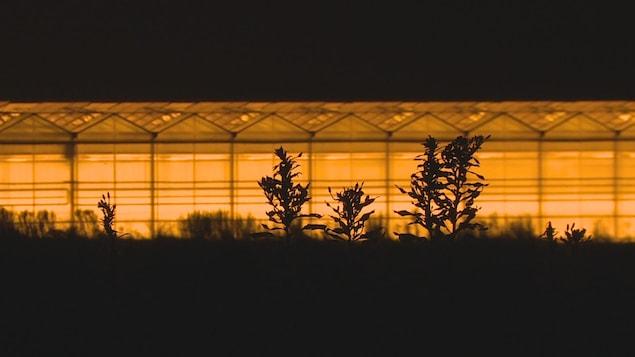 Gros plan de plantes qui dépassent dans un champ, avec des serres illuminées pendant la nuit derrière.