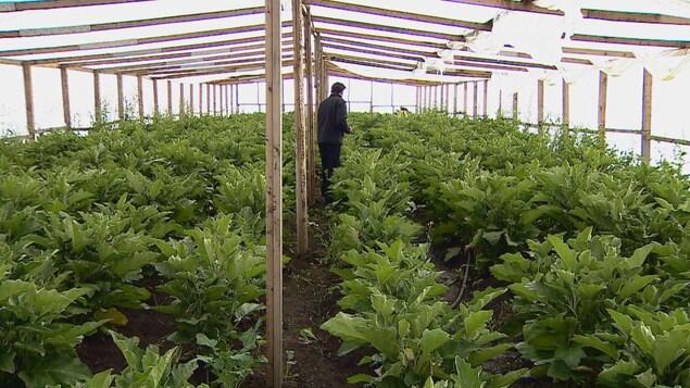 Un homme entre des rangées de plants d'aubergines dans une serre.