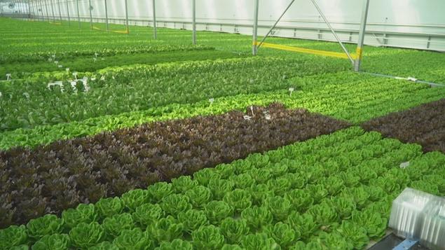 كميّات كبيرة من الخسّ في دفيئة زراعيّة.