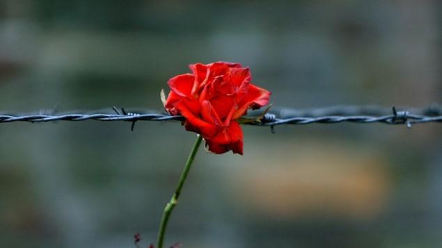 Une rose déposée tout contre les barbelés du camp de concentration nazi d'Auschwitz, en Pologne.