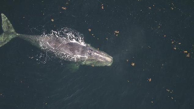 La baleine Snake Eyes, vue de haut, nage dans la mer.