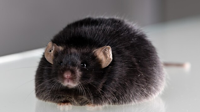 Une souris de laboratoire obèse.