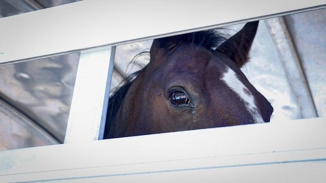 L'oeil d'un cheval est visible à travers les ouvertures d'une remorque.