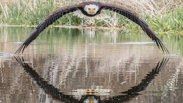 Un aigle vole au dessus de l'eau avec ses ailes déployées et leur reflet sur l'eau.