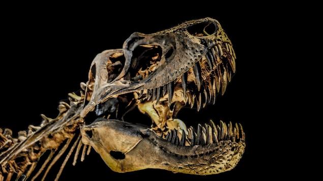 Le squelette reconstitué d'un T.rex.