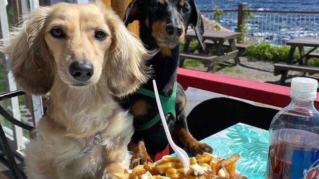 Deux chiens devant une poutine.
