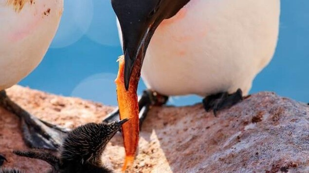 An adult mure passes a crab leg from its beak to a baby mure in a nest.