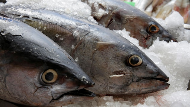 Des têtes de thon