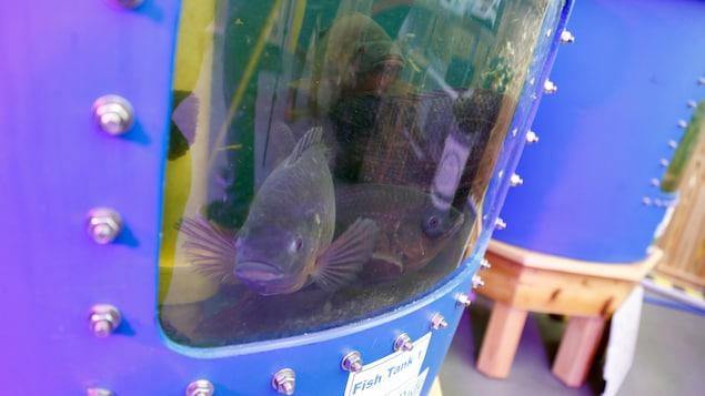 Des tilapias du Nil dans un aquarium