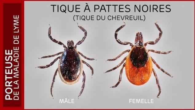 Les tiques à pattes noires sont activent dès que la neige fond et elles peuvent transmettre la maladie de Lyme.