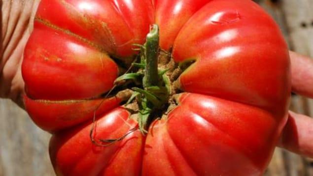 La tomate Mémé de Beauce