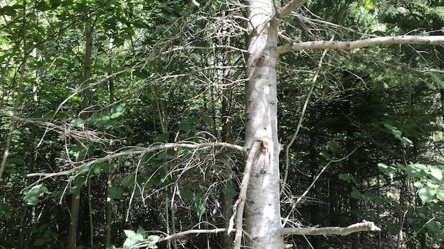 Un arbre démuni de ses épines.