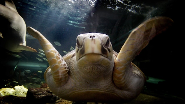 Une tortue luth.