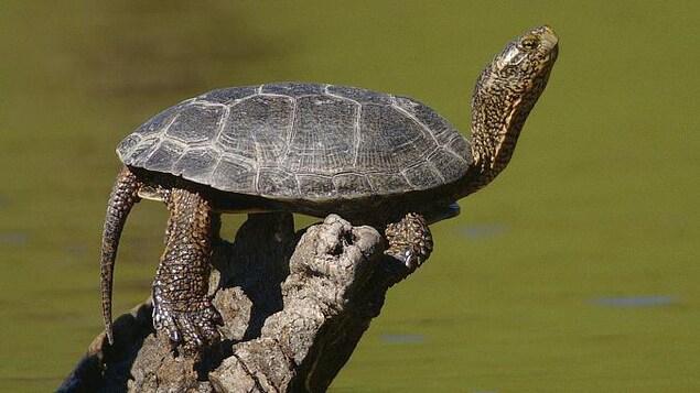 La tortue de l'Ouest fait partie des espèces disparues au Canada.