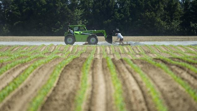 Un travailleur et son tracteur devant un champ d'asperges.