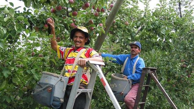 Deux hommes dans des échelles cueillent des pommes.