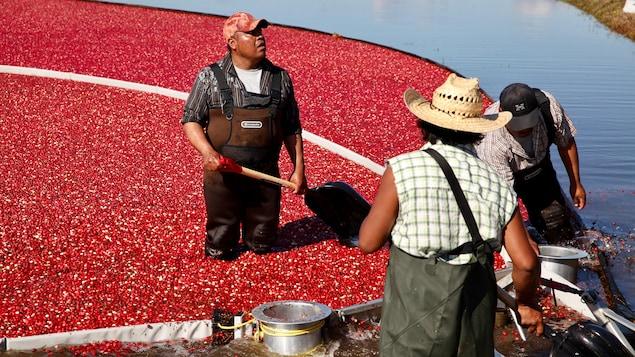 Des travailleurs agricoles saisonniers procèdent à la récolte des canneberges dans une cannebergière de Saint-Louis-de-Blandford, dans le Centre-du-Québec.