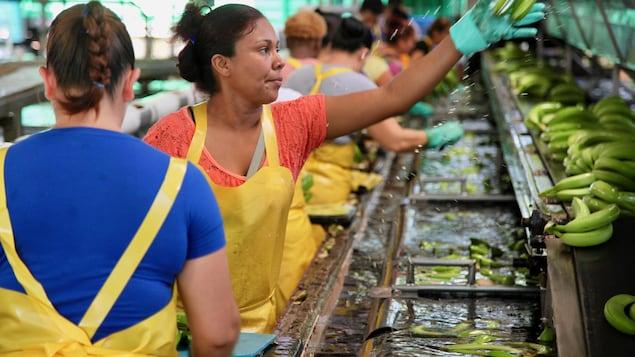 On voit dans l'usine des grands bacs remplis d'eau où sont placées les bananes vertes. Les travailleuses les trient. Un femme vêtue de gants et d'un sarrau prend un régime dans sa main.