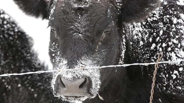 Une vache noire dont la fourrure est couverte de neige.