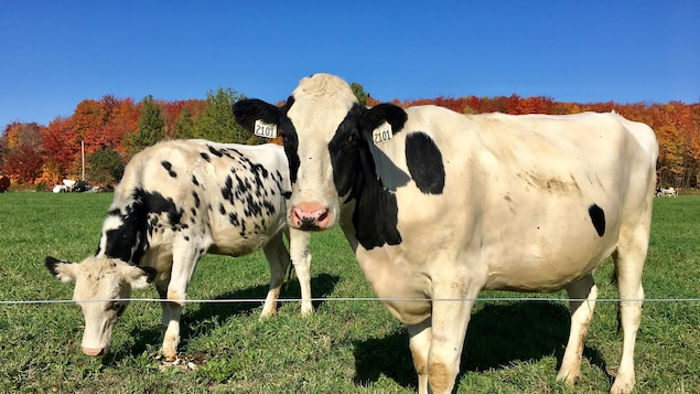 Des vaches de la ferme biologique Lampron et fils.