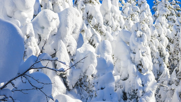 Des arbres sous la neige.