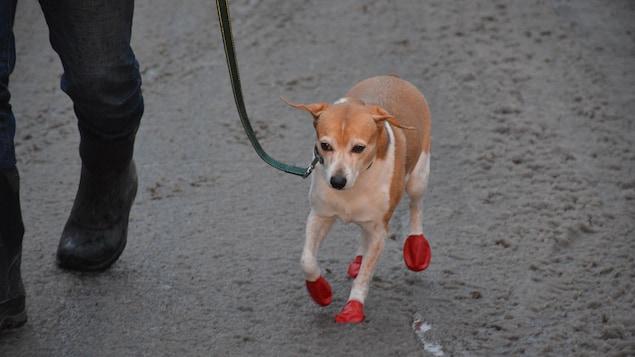 Un chien porte des «claques» aux pieds pour marcher dans la gadoue.