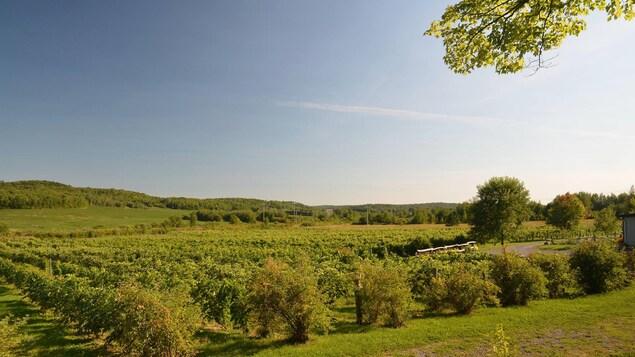 Des vignes à perde de vue dans les champs.