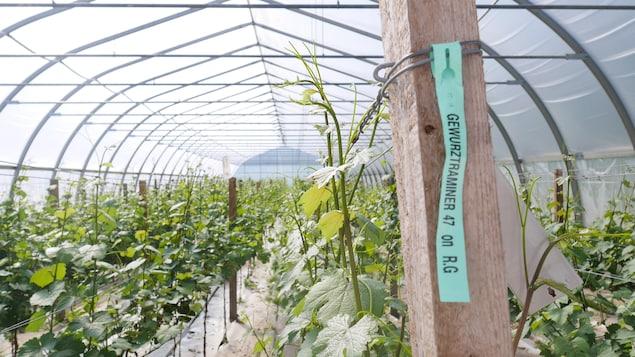 Chaque serre compte environ 600 plants de vigne