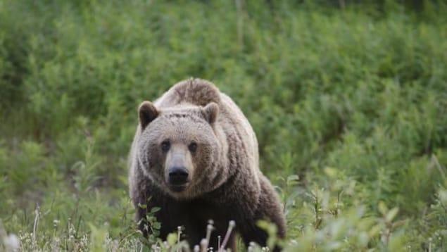 Un grizzly dans l'herbe.