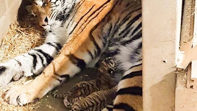 La tigresse allaite ses petits