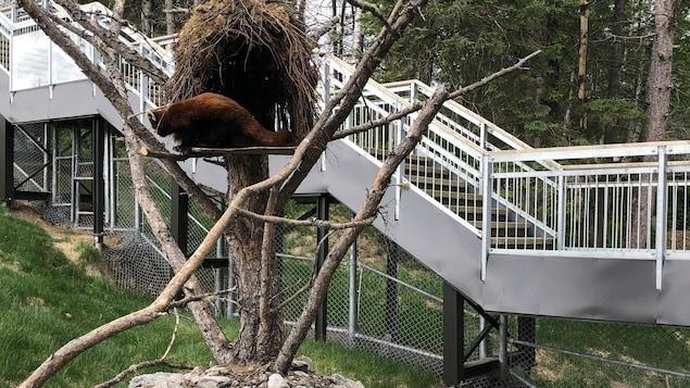Un panda roux dans un arbre.