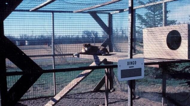 Vue d'un chien dans une grande cage d'un zoo. Sur une pancarte est marquée : Dingo.