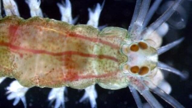 Une image de zooplancton.
