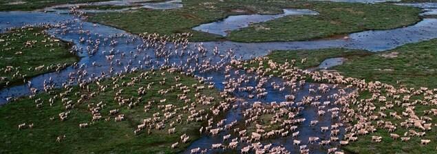 Un troupeau de caribous près de la baie d'Hudson