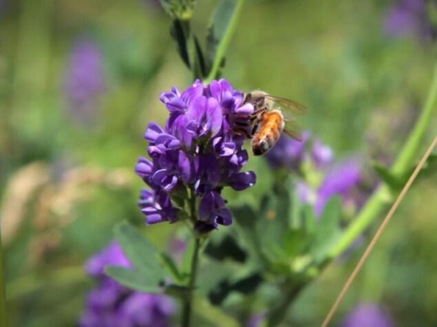 On voit une abeille qui butine les fleurs de luzerne.