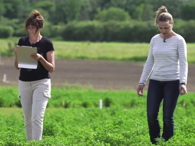 On voit Annick Bertrand et Annie Claessens marcher dans une parcelle où est plantée de la luzerne. Elle procèdent à un recensement des plants.